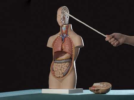 Manekin ciała ludzkiego