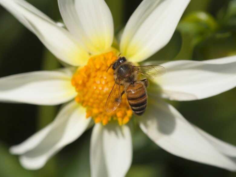 Pszczoła, nektar