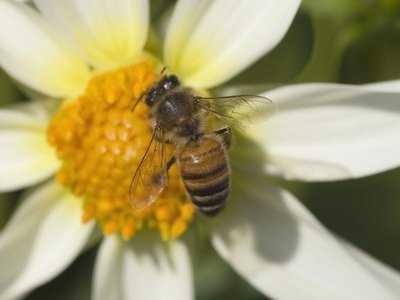 Antybiotyk od pszczół