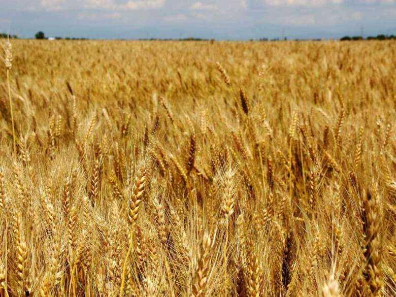 Zboże, pola uprawne